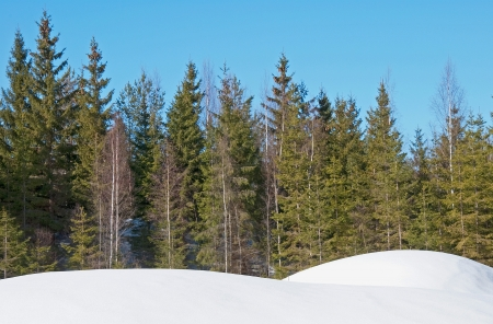 Spruce forest Stock Photo - 17275177