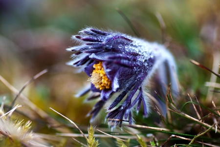 Frosty pasque flower Stock Photo - 17275178
