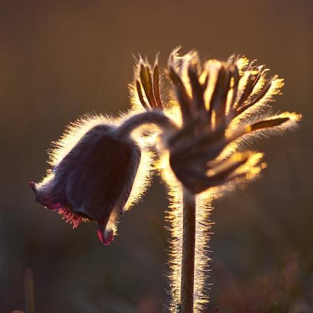 Flower in morning backlight Stock Photo - 17271787