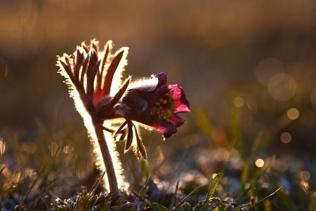 pulsatilla: Flower in frosty morning