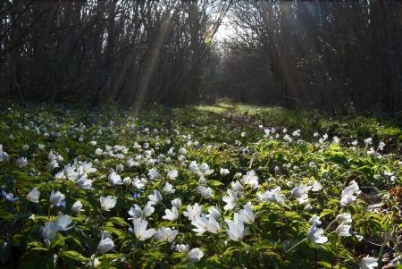 Wood anemones Stock Photo - 17275175