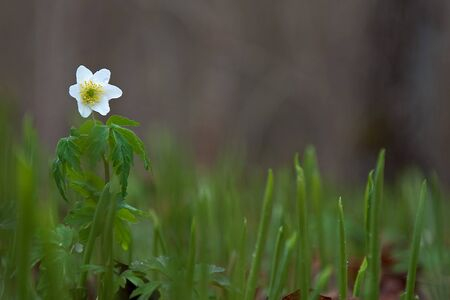 Proud wood anemone photo