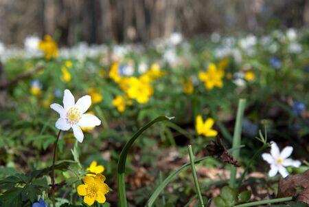 Anemones in springtime Stock Photo - 17275201