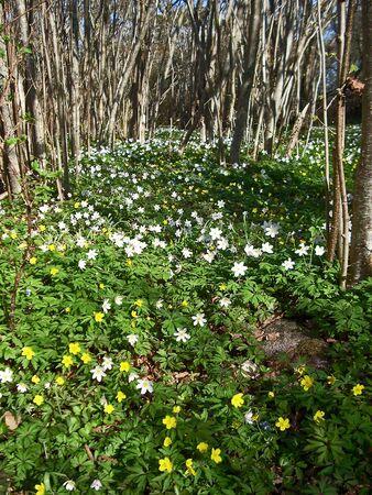 Anemones photo