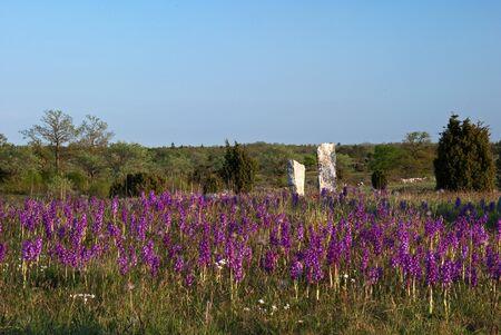 Carpet of purple wildflowers Stock Photo - 17275297