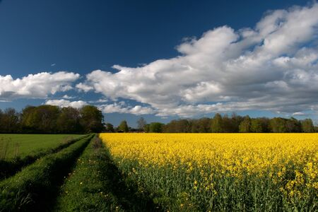Yellow field and blue sky Stock Photo - 17275255