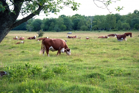 Grazing cattle Stock Photo - 17275348