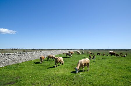 Grazing cattle Stock Photo - 17330577