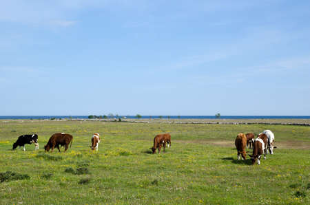 Grazing cows Stock Photo - 17330551