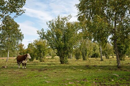 Lonely cow Stock Photo - 17442782