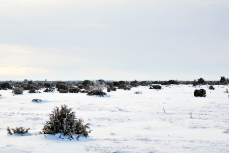 Junipers in plain winter landscape Stock Photo - 17569375