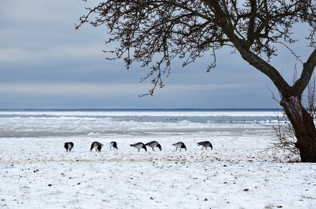 Grazing geese in snow photo
