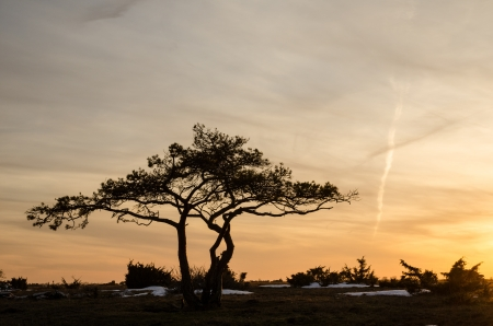 A lone pine tree at a great plain area landscape in sunset on the swedish island Oland in the Baltic sea  photo