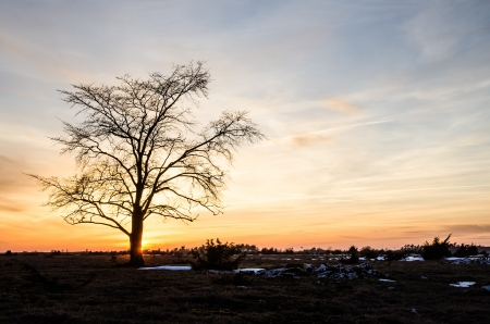 oland: A lone elm tree at a great plain area landscape at sunset on the swedish island Oland in the Baltic sea
