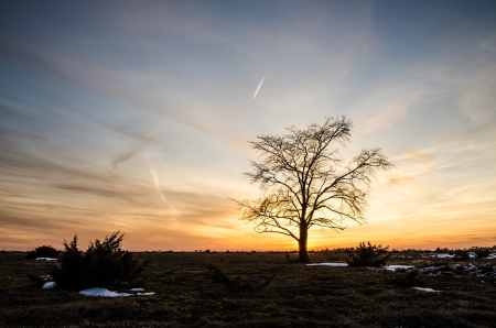 oland: A lone elm tree at a great plain area landscape on the swedish island Oland in the Baltic sea