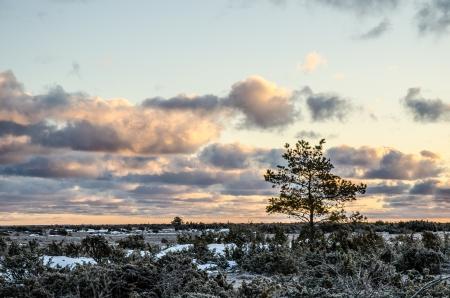 Eine Kiefer bei Sonnenaufgang ein frostiger Morgen in der Großen Alvar Plain, eine einzigartige Landschaft auf der Insel Öland in Schweden