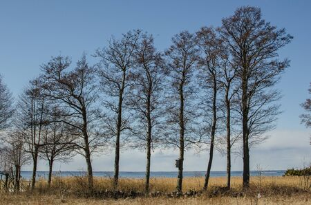 oland: Alder trees in a row by the coast of the island Oland in Sweden