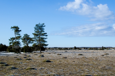 oland: A group of pine trees at the Great Alvar Plain on the island Oland in Sweden