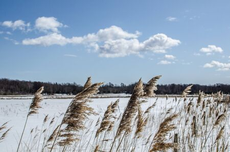 oland: Reeds in a winter landscape with a white cloud at a blue sky