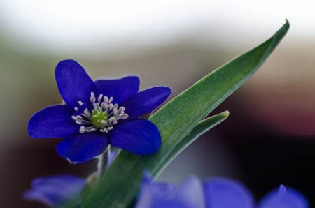 Closeup of a Common Hepatica, a symbol for springtime  photo