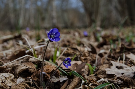 Common Hepatica in forest among old leaves at early springtime photo