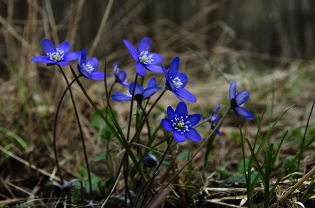 nobilis: Group of Common Hepatica in a deciduous forest, the symbol for springtime Stock Photo
