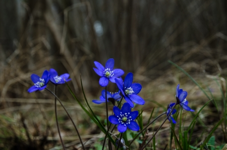 Group of blossom Common Hepatica in a hazel forest at springtime photo