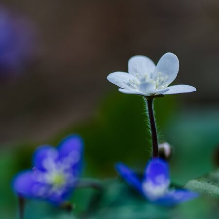 White Common Hepatica among blue friends photo