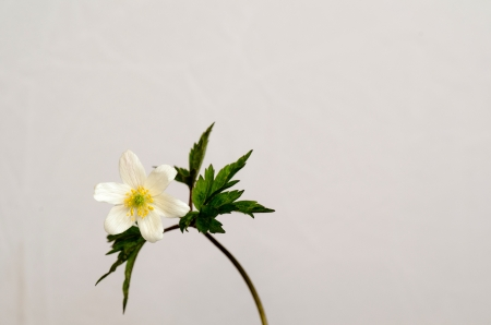 White spring flower at white background, Wood Anemone Stock Photo - 19445608