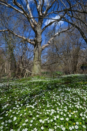 Carpet of wood anemones and an old oak in a swedish forest at the island Oland Stock Photo - 19605744