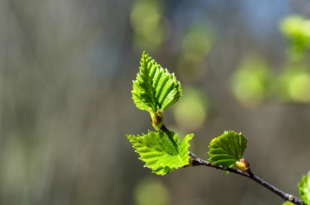 Closeup of new birch leaves, a symbol for springtime
