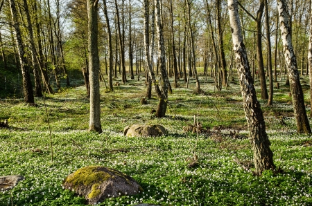Swedish forest on the island Oland with wood anemones blossom photo