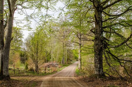 Beeches by a dirt road in early springtime  From the province Smaland in Sweden  photo
