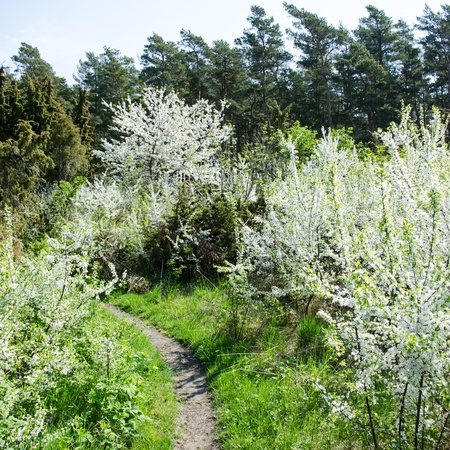 oland: White blossom at a small trail on the Swedish island Oland in the Baltic sea