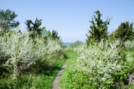 White blossom at a small footpath to the sea at the Swedish island Oland in the Baltic sea  photo