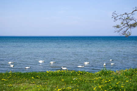 oland: Mute swans by coast of the Baltic sea in springtime  From the island Oland in Sweden