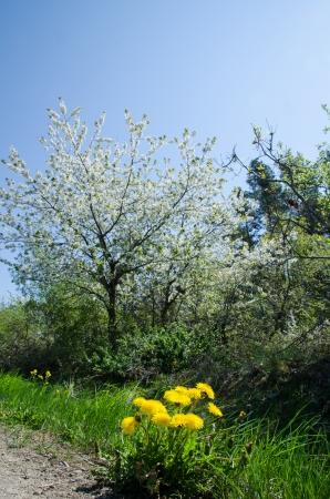 Dandelion and cherry blossom at blue sky - colours of springtime  photo