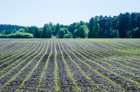 corn island: New corn plants in rows at a field with green background  From the island Oland in Sweden