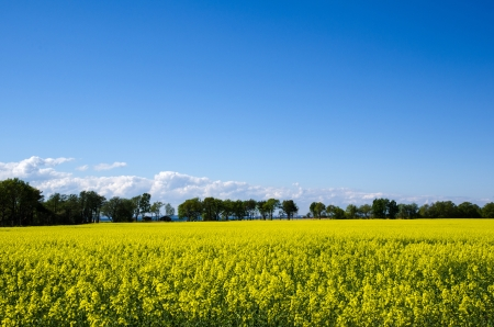 oland: Rape field view from the island Oland in Sweden