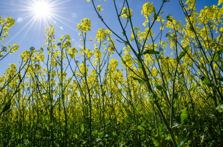 View from ground level in a rape field at a blue sky and shining sun