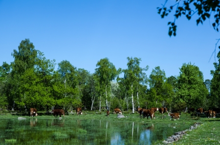 oland: Grazing cattle at a pond nearby a forest of birches  From the island Oland in Sweden