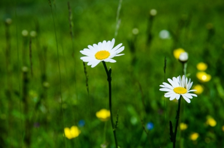 Daiseies in a green and yellow summer field Stock Photo - 20239488