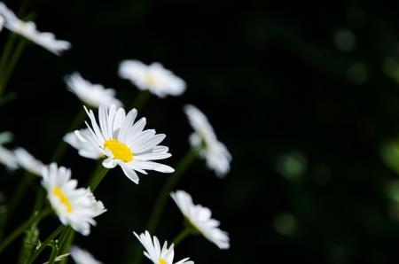 Daisies at a natural dark background Stock Photo - 20239476
