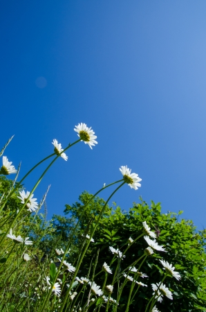 Group of daisies at a blue sky