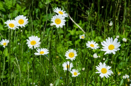 Daisies in a green summer field Stock Photo - 20239490