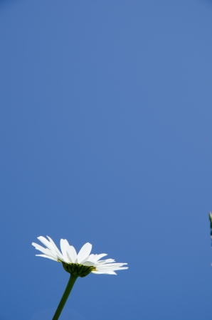 Single daisy at a blue cloudless sky Stock Photo - 20239479