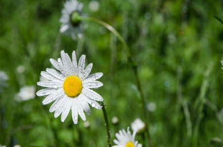 Daisy with waterdrops Stock Photo - 20239486