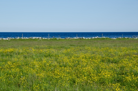 Blue water and yellow flowers in a green field  From the island Oland ind Sweden