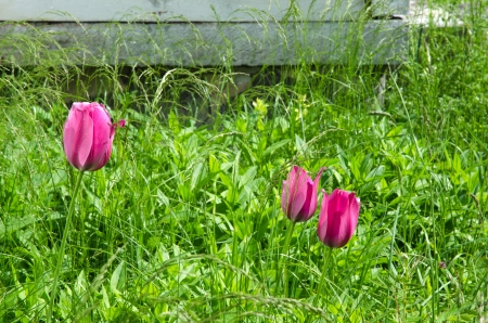 Blossom red tulips in an abandoned garden bed with a lot of green grass and weed. Stock Photo - 20370157