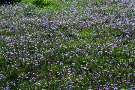 oland: Carpet of blossom chives wildflowers  From the island Oland in Sweden  Stock Photo